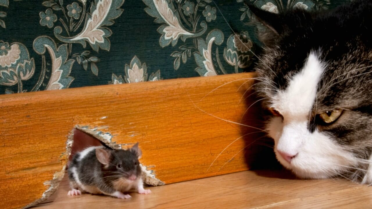how to repel rats naturally