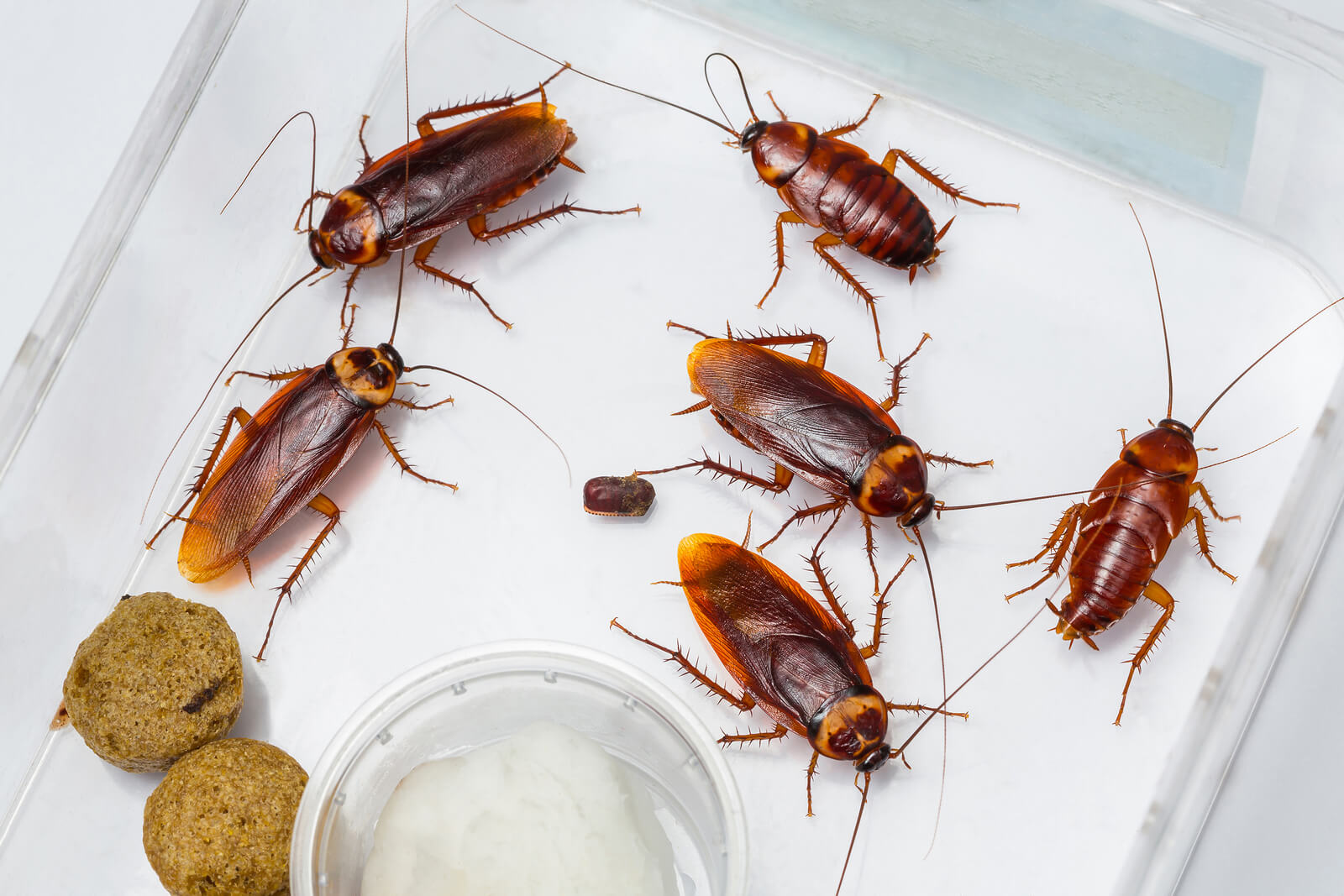 Do Cockroaches Lay Eggs