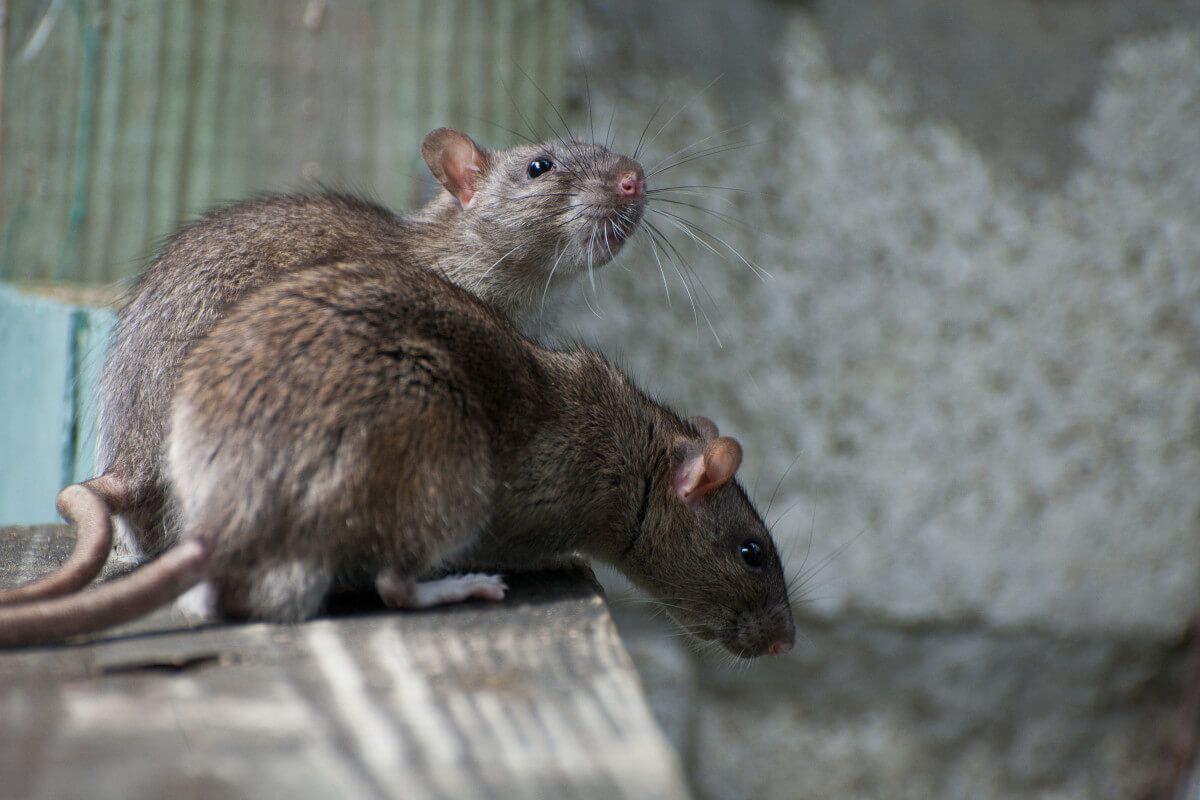 what kills rats instantly