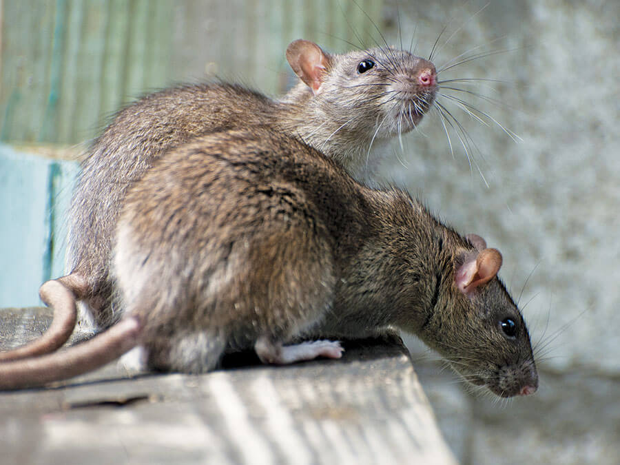 how to get rats out of your house