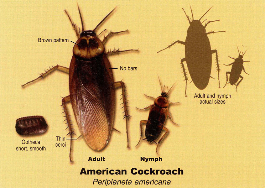 ifference Between a Palmetto Bug and American Cockroach