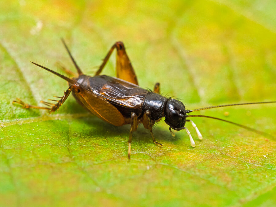 how to get rid of cricket insect