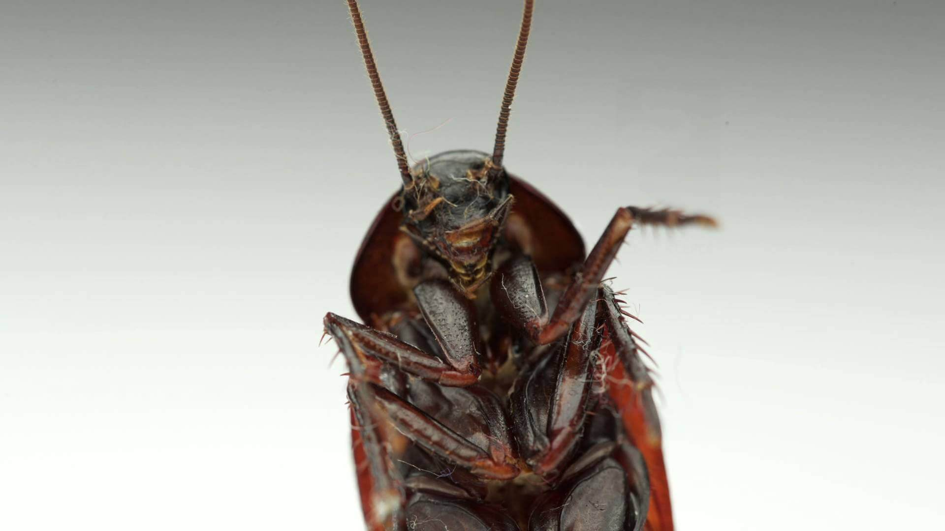 what attracts palmetto bugs