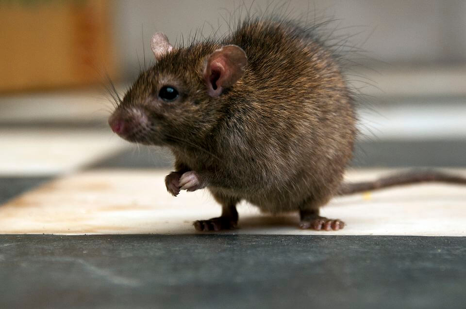 how to get rid of roof rats naturally