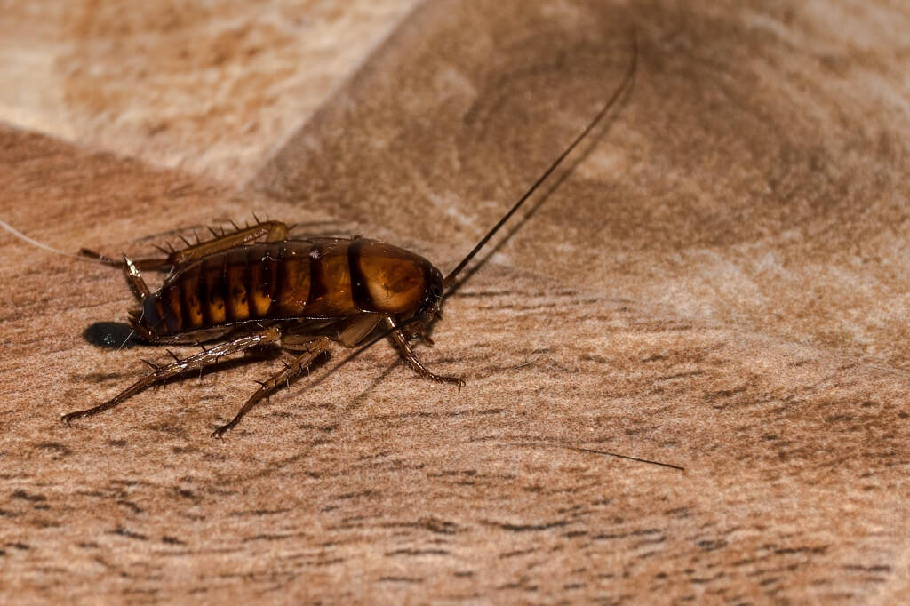 pictures of roaches for identification