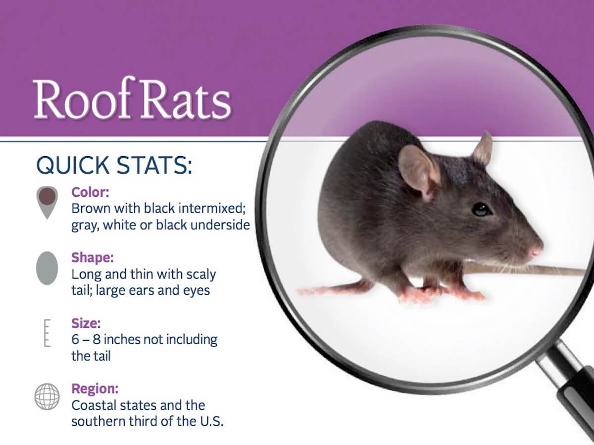 getting rid of roof rats